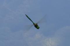 Spreitenbach Franzosenweiher, Glänzende Smaragdlibelle